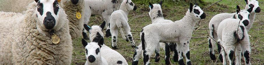 schapen-1